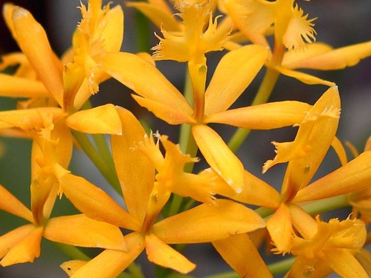 Epidendrum (orchidée)
