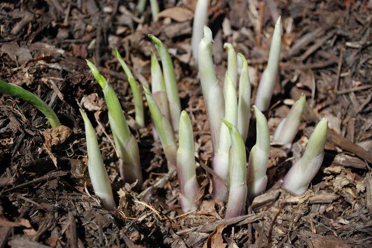 Hostas resprouting in Spring