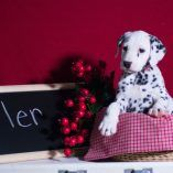 Dalmatian puppy for sale in KENT, OH. ADN-57106 on PuppyFinder.com Gender: Male. Age: 10 Weeks Old