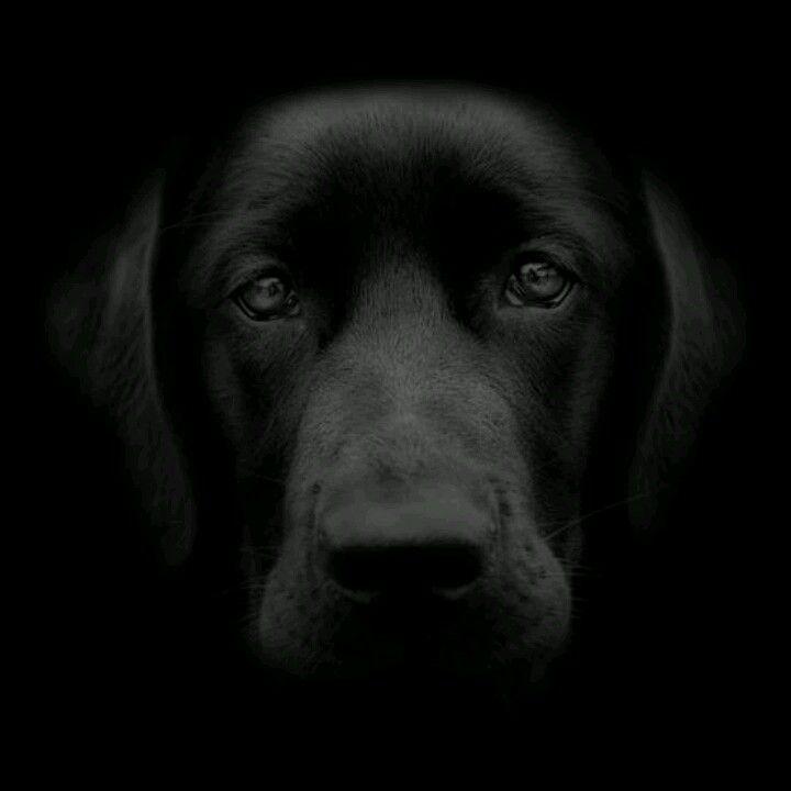 Black Labrador-beautiful