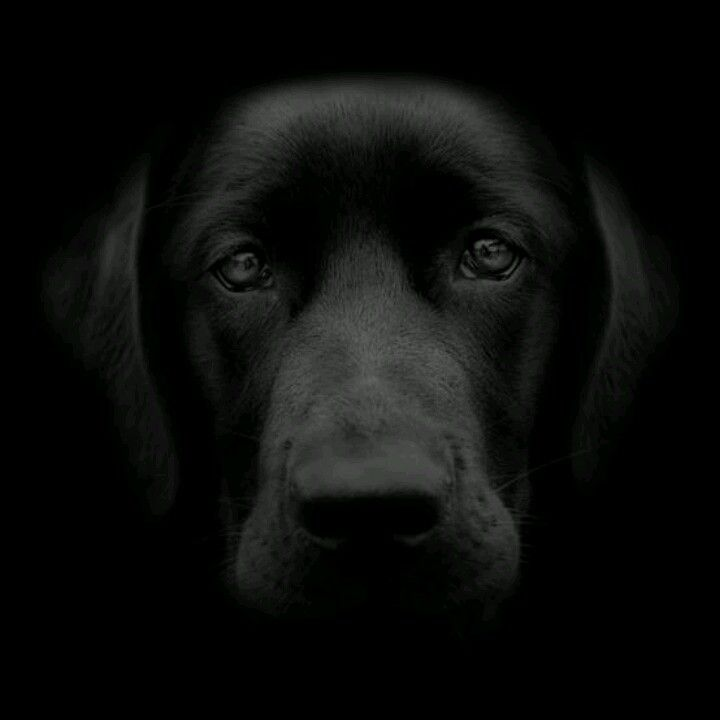 Black Labrador-beautiful                                                       …