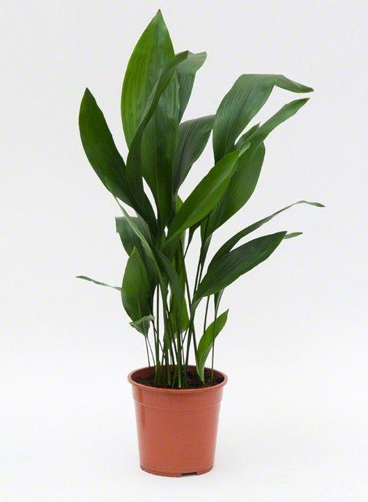 Kamerplanten online | Aspidistria | Chicplants