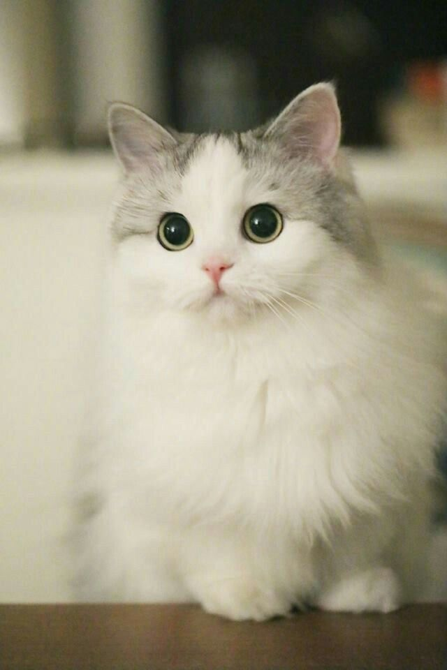 Pin By Chandshahin On I Love Cat Kittens Cutest Cute Cats Pretty Cats
