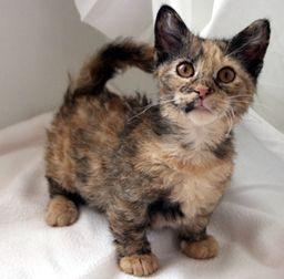 Skookum Cat - Crossbreed between a Munchkin and a Laperm. It's so short!!