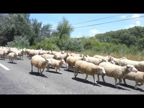 Sheep in new zealand on the highway