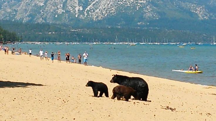 Bear Enoying Beach | Mother bear and her cubs on the beach Pope Beach La...