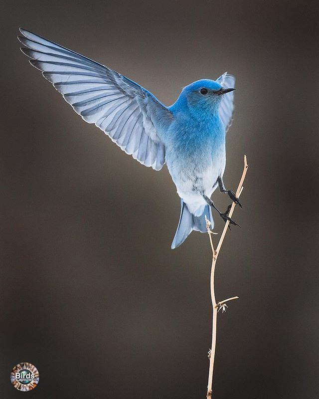 Blue Bird Black And White Birds Bird