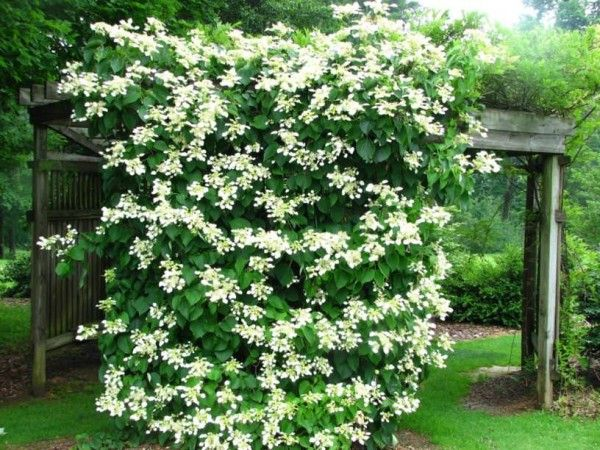 Growing climbing hydrangea vine is rewarding due to its glossy heart-shaped foliage and fragrant white flowers that appear in clusters in spring to summer. It is a slow grower and requires training and pruning. You can grow climbing hydrangea if you live in the colder region within USDA Zones 5 – 8.