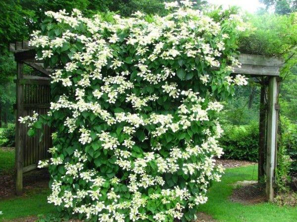 19.-La hortensia trepadora es otra magnífica planta para climas fríos. Sus llamativos y aromáticos racimos florales aparecen durante la primavera y el verano. Crece mucho, puede alcanzar hasta 25 metros de longitud.