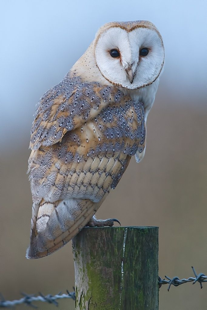 Photo Barn Owl by Glen Crowe on 500px