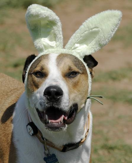 Cisco, a mix rescue dog, owned by Casey Lopez, sports rabbit ears during the first Hound Hunt, an Easter Egg hunt for dogs inside the dog park at Bick ham-Rudkin Park in Edmond Sunday April 1, 2012. The eggs are filled with dog treats. Photo by Doug Hoke, The Oklahoman