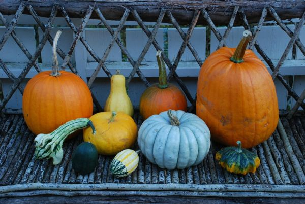~*- Gresskar -*~ (Amariel of the Woodlands) Some of the pumpkins I bought October 2014