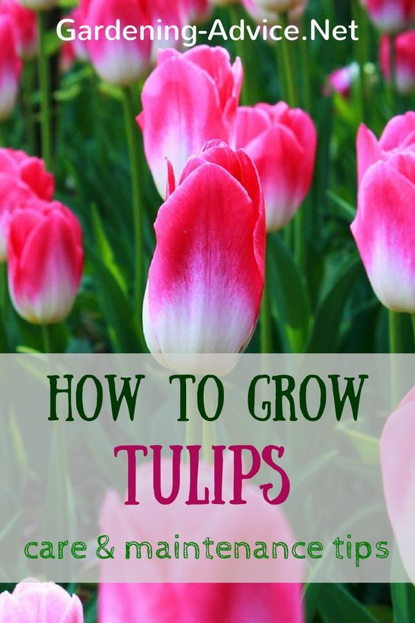 Tulips Care and Maintenance Tips for the most beautiful spring colors. Learn…