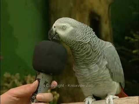 This is Einstein! An absolutely amazing performing African Grey Parrot.