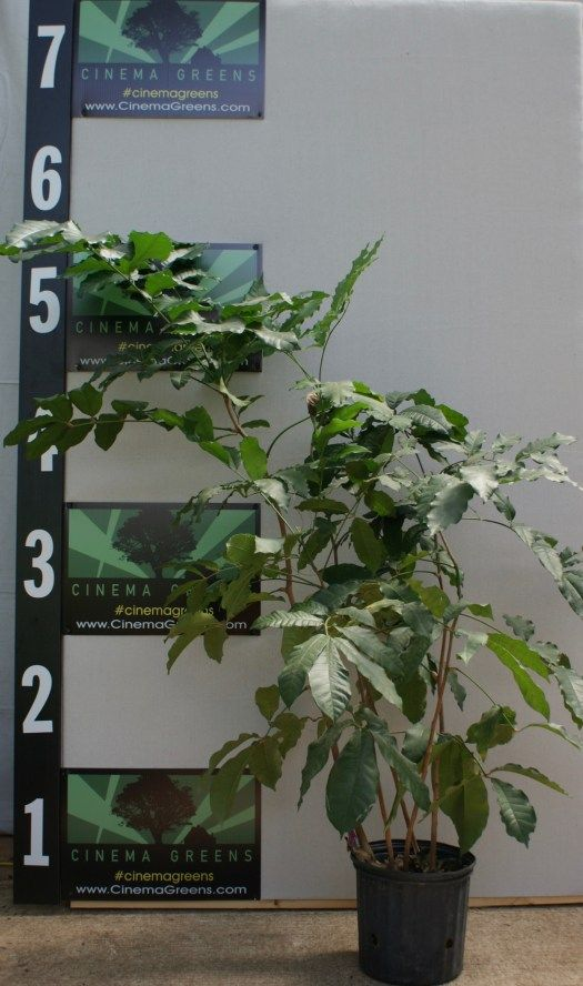 Live Natal Mahogany Trichilia Emetica 5 gallon for rent at Cinema Greens Atlanta.   plant rentals, artificial plants, live plants, silks, topiaries, boxwood, moss, film, decor, Atlanta, Cinema Greens, Plantrental, Flower Walls