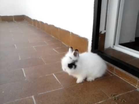 Conejo enano holandes, conejo toy