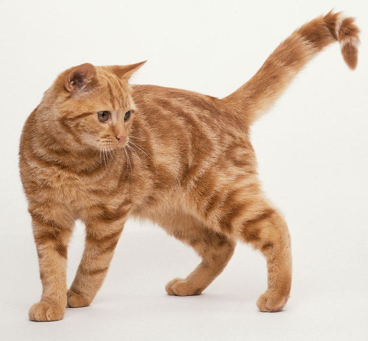 Image by I Pet Paw on Light Brown Cats Tabby cat, Orange