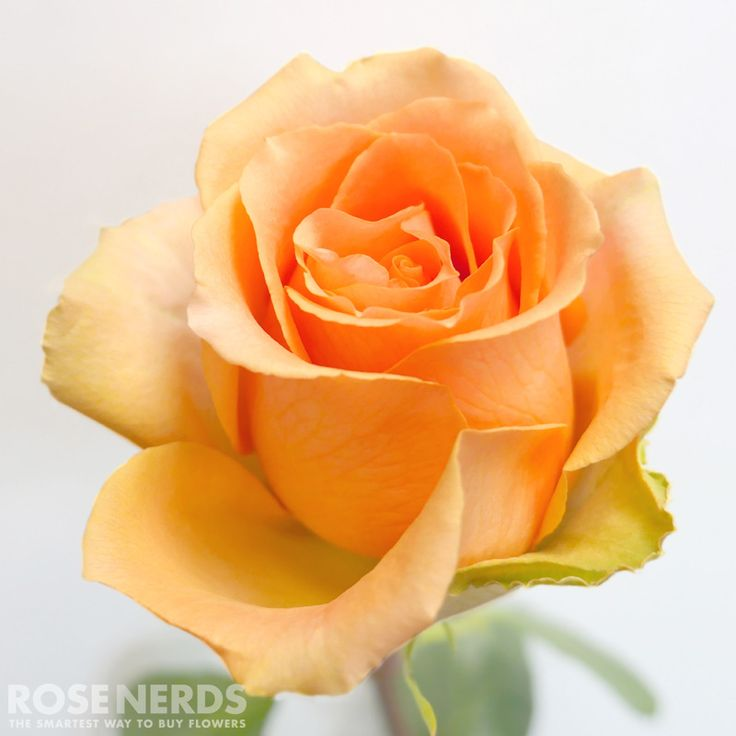 RoseNerds.com Wholesale Peach Roses are one of the most popular wedding roses for great reason. This flower is stunning in any arrangement and perfect for any #diywedding. #peachwedding #weddingideas
