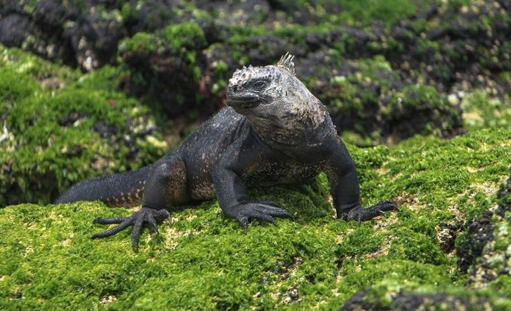 One place on earth you can find one of there characters. The marine iguana gets its color from the evolving volcanic rock.