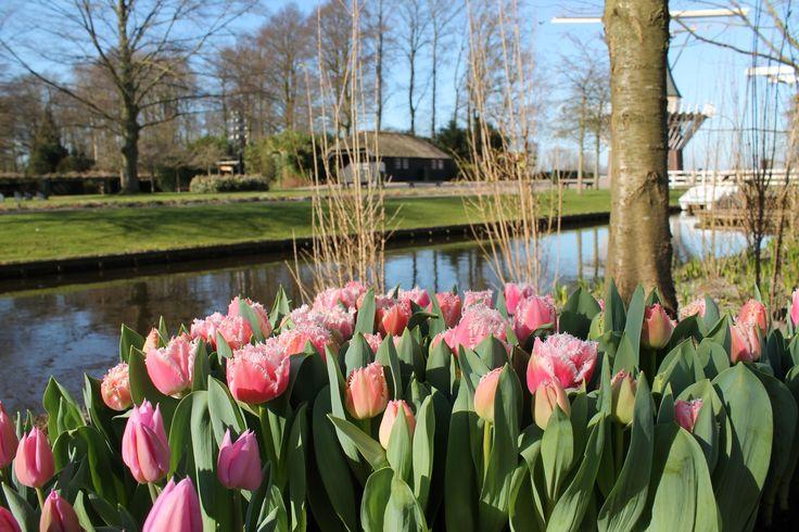 De prachtige tulpen 'Queensland' bloeiden als een van de eersten in de Amsterdam Garden.