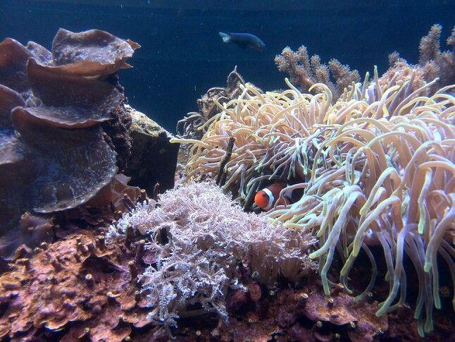 Clownfish at Ushaka marine world Durban South-Africa