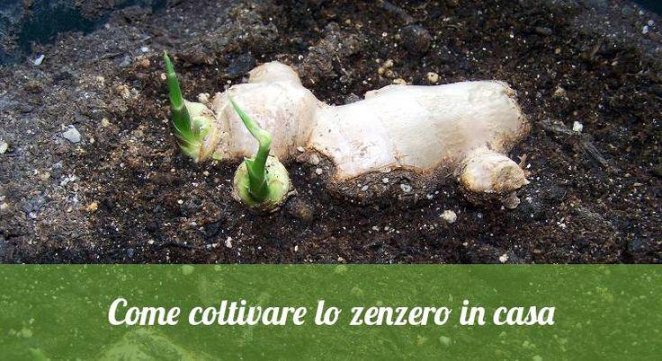 Ecco come coltivare lo zenzero in casa o in un vaso sul balcone http://jedasupport.altervista.org/blog/curiosita/ecco-come-coltivare-lo-zenzero-in-casa-o-in-un-vaso-sul-balcone/