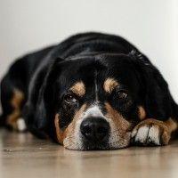 #dogalize Enfermedades Caninas: Piometra canina sintomas tratamientos #dogs #cats #pets