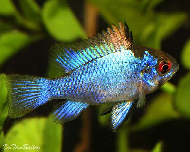 electric blue african cichlid-#47