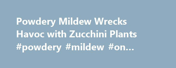 Powdery Mildew Wrecks Havoc with Zucchini Plants #powdery #mildew #on #zucchini http://massachusetts.nef2.com/powdery-mildew-wrecks-havoc-with-zucchini-plants-powdery-mildew-on-zucchini/  # Powdery Mildew Wrecks Havoc with Zucchini Plants Preventing and Treating Powdery Mildew In central Utah, our growing season is relatively short. Our last spring frost comes rolling through in early June, and our first killing frost can end our vegetable gardening efforts any time after mid August. To jump…
