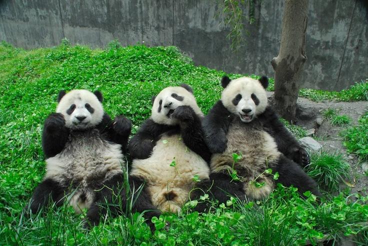 #Pandas munching in tandem #ThreeStooges