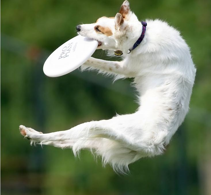 c1089c9cb3eec6132c68b24561aad6ac frisbee dog wallpaper 85 best dog disc images on pinterest doggies, dogs and border collie