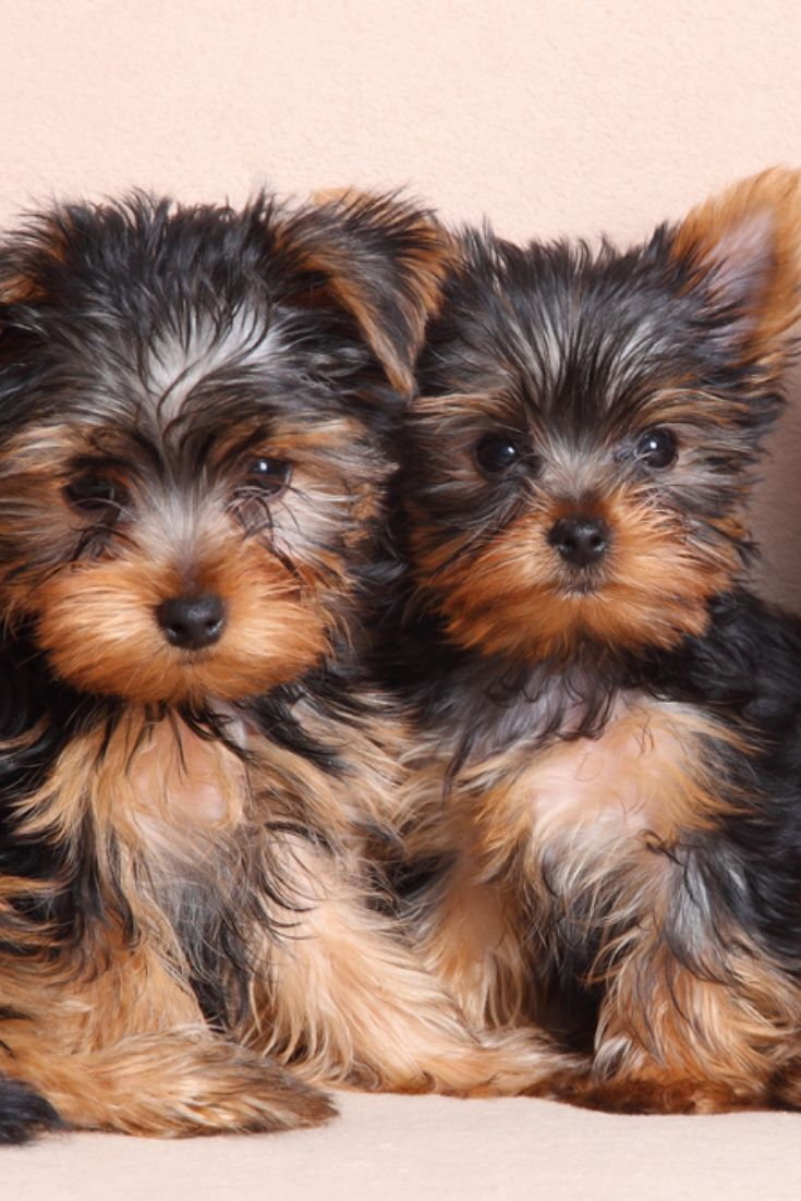 Three Funny Puppy Of Yorkshire Terrier Yorkshireterrier