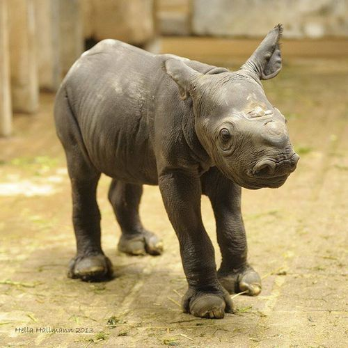In Germany, Zoo Krefeld's Black Rhino couple, Nane and Usoni, gave birth to their fourth baby on July 13. The baby, whose gender is unknown, weighs almost 30 kg, or about 66 pounds. Zoo Krefeld is one of only five zoos in Germany that successfully breed the rare species.  http://www.zooborns.com/zooborns/2013/07/zoo-krefelds-black-rhino-couple-nane-and-usoni-gave-birth-to-their-fourth-baby-on-july-13-the-baby-whose-gender-is-unkn.html