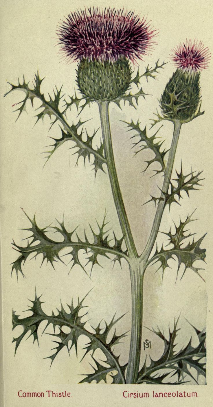Thistle Botanical Drawing