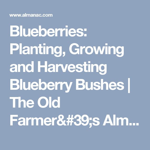 how to grow blueberry bushes uk