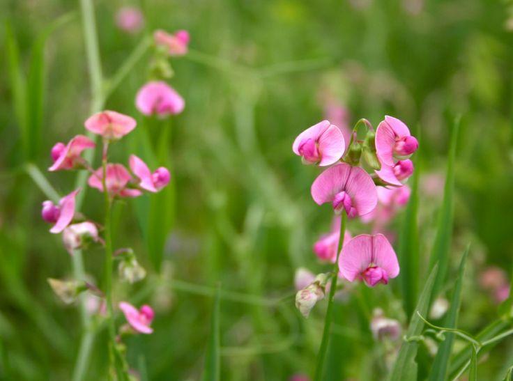 25 best fleurs sauvages du qu bec images by sophie morisset on pinterest wild flowers leaves - Mot de la meme famille que fleur ...