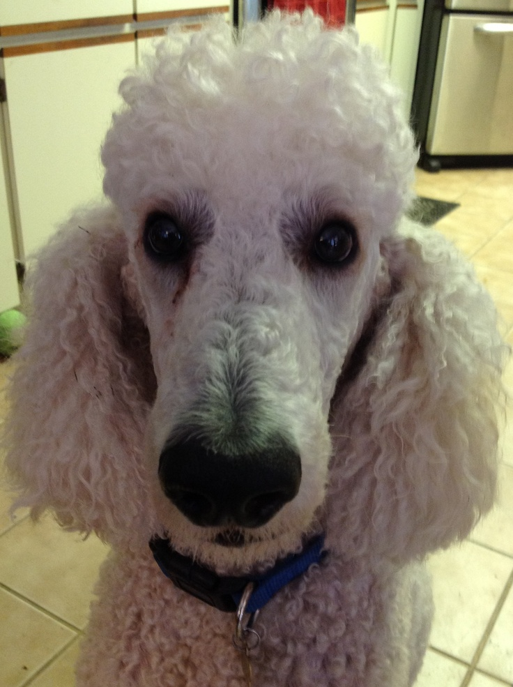 We love 5 year old Sammy who we adopted from Florida Poodle Rescue a few months ago, after his Mom died.  He loves his forever parents along with his two new fur brothers and a fur sister.  Rescue dogs are the best!