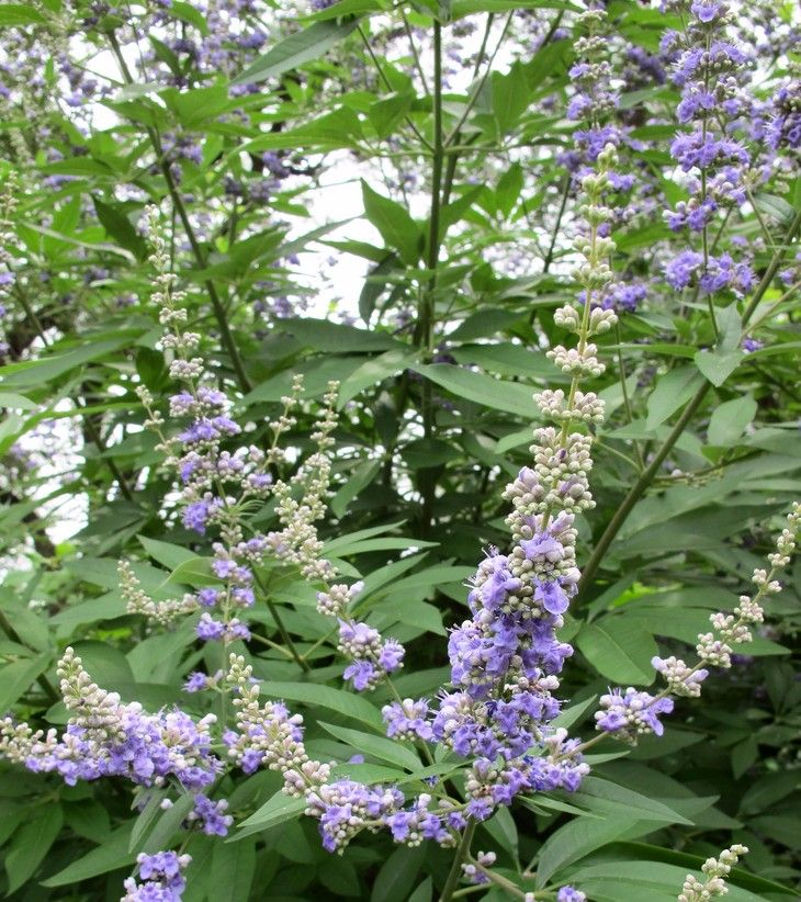 VITEX AGNUS CASTUS (CHASTEBRRY) AND INFERTILITY.  Are you aware of the benefits of vitex agnus castus and its impacts on infertility? Did you know that vitex agnus castus can be used to tackle infer....   #vitexagnus-castus.