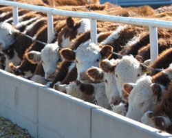 Understanding historic live #cattle price volatility: #KState agricultural economist explains some of the reasons for current market trends. #ag #KSRE