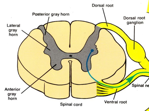 Gray Matter. The butterfly shape of the gray matter consists of the dorsal (posterior) and ventral (anterior) horns. The left and right sides are attached by a gray commissure, which has the central canal in the middle. The posterior root has sensory nerve fibers entering the posterior horn. The anterior root contain somatic motor neurons exiting the anterior horn. The lateral horn holds neurons of the sympathetic NS that exit through the anterior root
