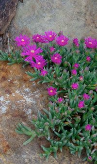 Ice plant...a favorite little succulent...:)