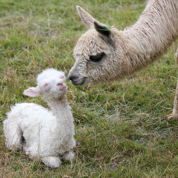 10 Best Baby Alpacas Awwwww Images On Pinterest  Baby -5476