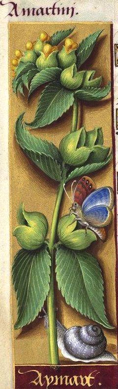 Aymart - Amartini (Rhinanthus major Ehrh. = crête-de-coq) -- Grandes Heures d'Anne de Bretagne, BNF, Ms Latin 9474, 1503-1508, f°112v