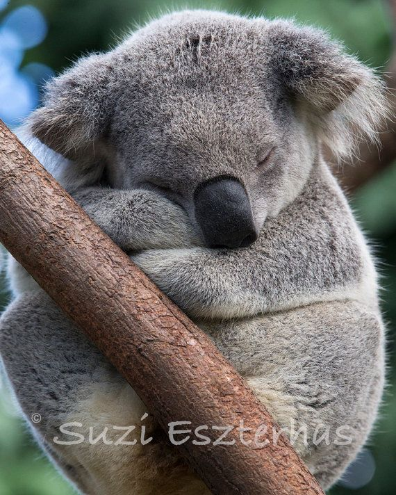 SLEEPY KOALA foto Koala Beer Baby Nursery Print dierlijke