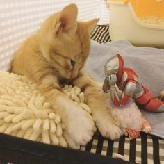 3-day-old Rescue Kitten Grows Up with Unusual Friend, Now a Year Later...