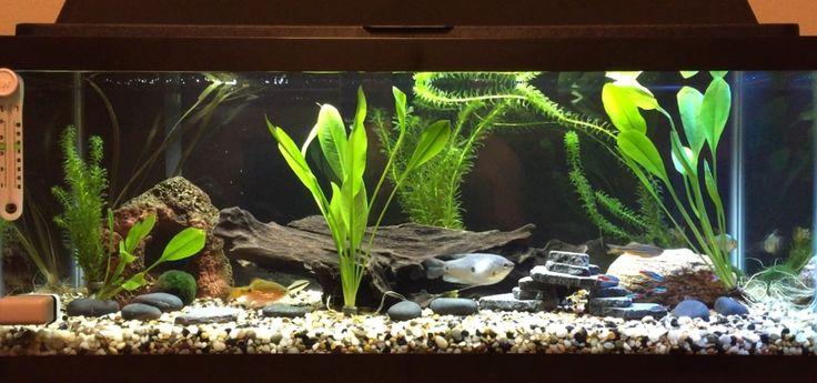 20 Gallon Long Freshwater Tank | 1 Blue Three Spot Gourami, 1 Siamese Flying Fox, 2 Giant Danios, 2 Colombian Tetras, 1 Rosy Barb, 6 Neon Tetras, and 1 Peppered Corydora Catfish