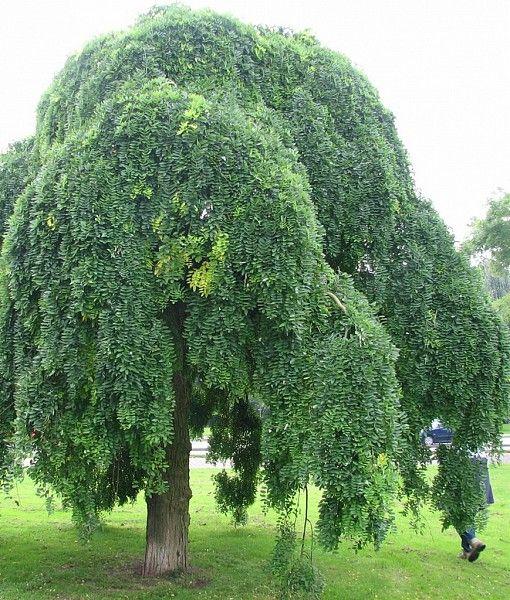 sophora japonica 39 pendula 39 arbres pinterest arbres pleureurs arbres remarquables et arbuste. Black Bedroom Furniture Sets. Home Design Ideas