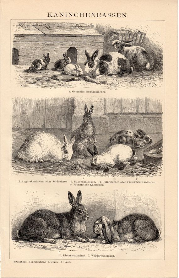 1908 Antique Kaninchenrassen, Rabbit, Hare, Bunny, Farm Rabbits, Different Breeds, German Lithograph