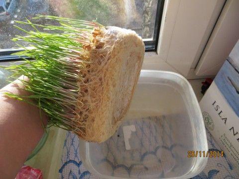 Оригинальный способ выращивания рассады. Нет ни грязи, ни забот по поливу (по крайней мере первое время).Берете пластмассовую бутылку. Только обязательно прозрачную (не голубую, не зеленоватую) разре…