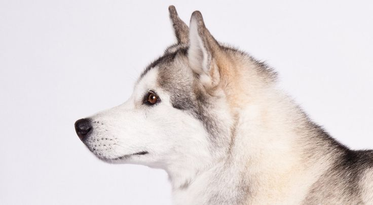 Siberian Husky facts including: history, training/temperament, and breed colors…